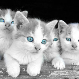 freetoedit kittens cutecat cutepets coloursplash eccolorsplasheffect