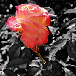 colorsplash pink nature roses photographynature eccolorsplasheffect