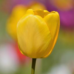 freetoedit photography naturephotography flower tulips