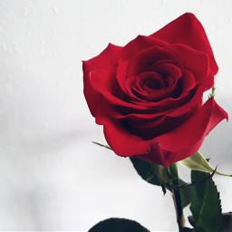 freetoedit rose red redrose flowers