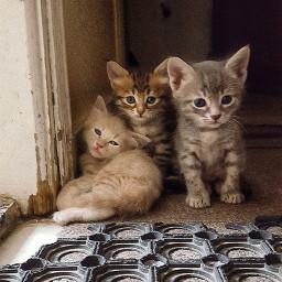 freetoedit kittys beautifulcats