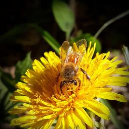 freetoedit pollenation bee