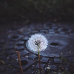 weeds dandelion photography ninjaturtles sewer
