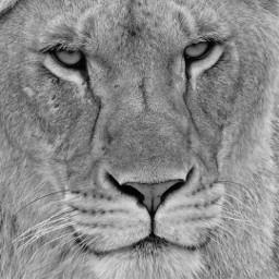 lion roarr lion_love lionshead eyes