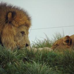 lion roarr lion_love lionshead animal