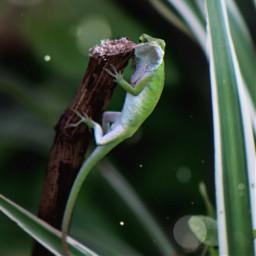 lizard reptile green nature freetoedit