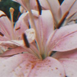 freetoedit flowers peddles flowerphotography nature