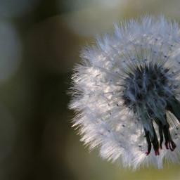 freetoedit dandelion flower naturephotography nature