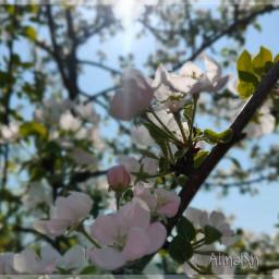 blossom bloom photografy appletree