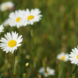 freetoedit daisy flower nature multicolored