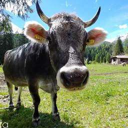 cow valdirabbi rabbivalley trentino trentinowild