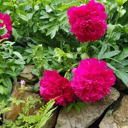peony peonies peonyflower pinkflower pink