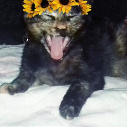 freetoedit tumblr pandora cat