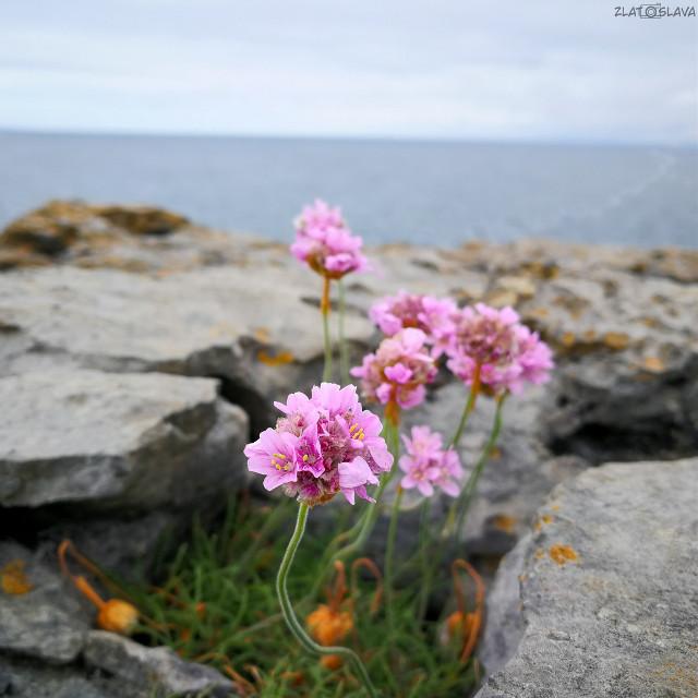 📍Baby Cliffs of Moher #cliffsofmoher #cliffs #sea #water #flower #flowers #beautiful #pinkflowers #green #nature #naturephoto #naturephotography #nature_lovers #huawei #huaweiphotography #huaweiphoto #huaweip10 #huaweip10photography #photo #photoshoot #photoshooting #photography #phonephoto #phonephotography #sky #bluesky #stones #stone #ireland  #ireland2019 #ireland_travel #irelandtravel #Irelandtravel #travel #travelling #irelandcliffs