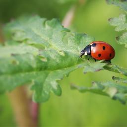 ladybird insect closeup nature photography