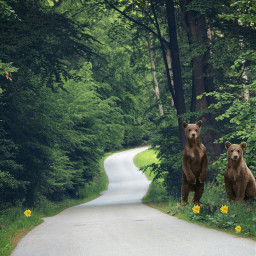 freetoedit forestroad forest bears