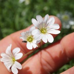 freetoedit flower nature myhand myphotography