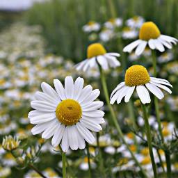 daisy flower flowerpower fieldflowers hdr freetoedit