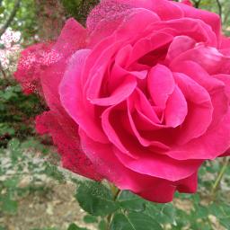 freetoedit roseflower