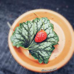 freetoedit photography myclick strawberry wild