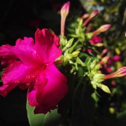 flor pink rosa pccolorsofnature colorsofnature