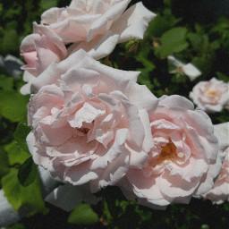 flower rose fotoedit editbymewithpicsart phoyography