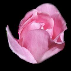 pinkrose freetoedit