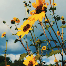 flowers yellow summer lovely beautifullife