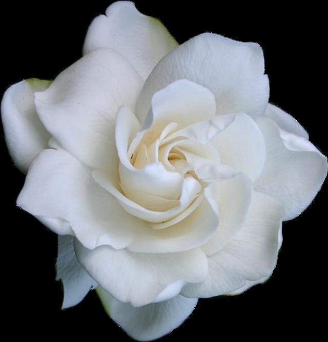 #sticker #flower #rose #white #aesthetic #whiteaesthetic #floweraesthetic #fleur #flora #blume #blumen #fleurs #flores