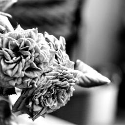 simplethings photography blackandwhitephotography blackandwhite flowers