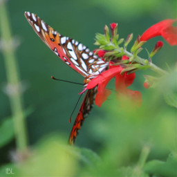 freetoedit gulffritillarybutterfly butterfly butterflylove vividcolor