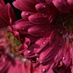freetoedit flower dewdrops rain pink