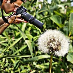 freetoedit nature beutiful discovery dandelion