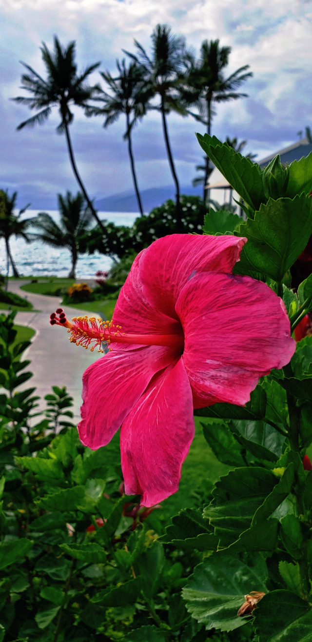 #freetoedit #pink #flower #maui #hawaii #colorful #colorpop #ocean #tropical #summervibes #myoriginalphoto #summer2019 #travel #goodtimes #pcsidewalks