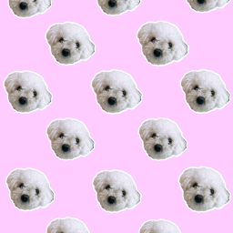 wallpaper dog frenchpoodle