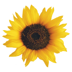 sunflower sunflowerdailyremixchallenge dailyremixchallenge dailychallenge challengeoftheday freetoedit