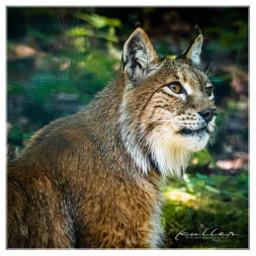 lynx bobcat nature animal wildanimal freetoedit