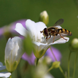 hoverfly photography closeup insect myphoto