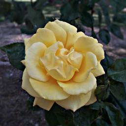 freetoedit roses yellow rose photoday