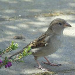 mus sparrow bird naturephotography nature