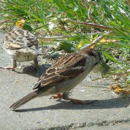 hungry feedingtime mus vogel sparrow