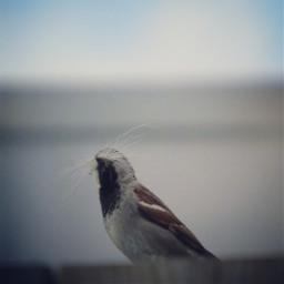 nesting whisker mus vogel sparrow
