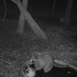 trailcam infrared raccoon pool ball