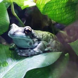 freetoedit frogs colorful photography amphibian