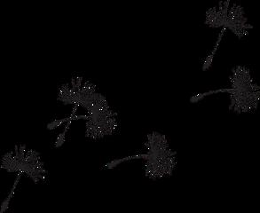 dandelion dandelions blowing freetoedit
