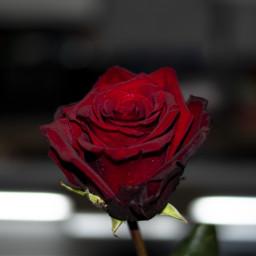 freetoedit red rose detail macro