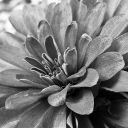 freetoedit peddles flowers blackandwhite shadow