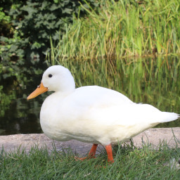 ducks nature lowangle canalside freetoedit