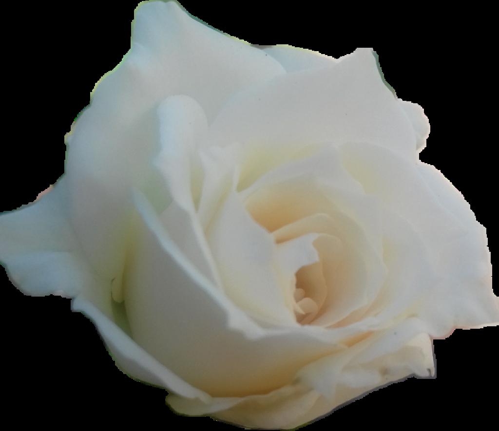 #rose #white #rosen #love #princess #weisserose #gilitzer #dream