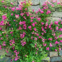 freetoedit outdoorphotography stonwall bush blossom